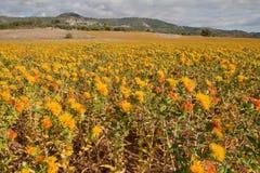 Campos amarillos para nunca Foto de archivo