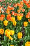 Campos amarillos y anaranjados del tulipán Foto de archivo