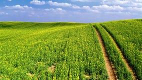 Campos amarillos y verdes de la violaci?n en el d?a soleado, visi?n a?rea, Polonia almacen de video