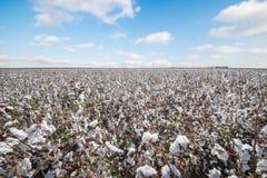 Campos blancos del algodón y cielo azul Concepto agrícola Fotos de archivo libres de regalías