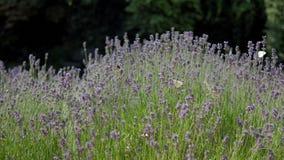 Campos bonitos da alfazema, borboletas brancas e para tropeçar abelhas video estoque