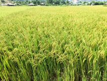 Campos bonitos do arroz do terra?o fotografia de stock royalty free