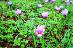 Campos bonitos dos açafrões violetas Imagens de Stock
