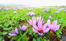 Campos bonitos dos açafrões violetas Imagens de Stock Royalty Free