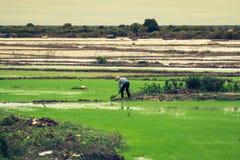 Campos cambojanos do arroz fotos de stock