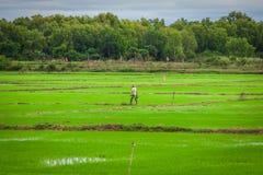 Campos cambojanos do arroz fotos de stock royalty free