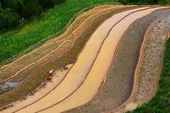 Campos colgantes del arroz Fotografía de archivo