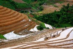 Campos colgantes del arroz Foto de archivo