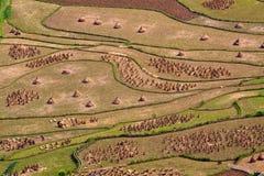 Campos colgantes del arroz Imagen de archivo libre de regalías