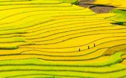 Campos colgantes del arroz Fotografía de archivo libre de regalías