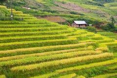 Campos colgantes del arroz Imagenes de archivo