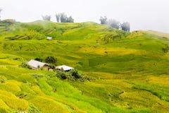 Campos colgantes del arroz Foto de archivo libre de regalías