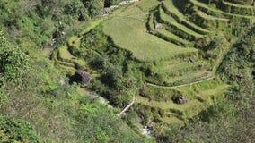 Campos colgantes del arroz almacen de metraje de vídeo