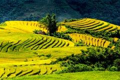 Campos colgantes del arroz de oro en el tiempo de cosecha Imagen de archivo