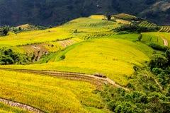 Campos colgantes del arroz de oro en el tiempo de cosecha Fotografía de archivo