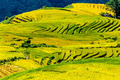 Campos colgantes del arroz de oro en el tiempo de cosecha Foto de archivo