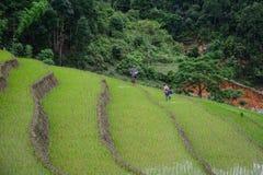 Campos colgantes del arroz el la estación de la lluvia en Vietnam imágenes de archivo libres de regalías