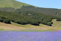 Campos coloreados del azul con acianos Fotos de archivo libres de regalías