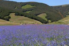Campos coloreados del azul con acianos Imagen de archivo