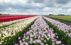 Campos coloridos com tulips Fotos de Stock Royalty Free