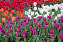 Campos coloridos das tulipas Foto de Stock