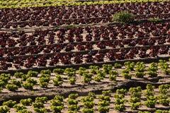 Campos coloridos de la lechuga Imagen de archivo