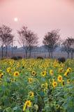 Campos coloridos del girasol en puesta del sol Fotografía de archivo