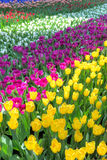 Campos coloridos del tulipán Imagen de archivo libre de regalías
