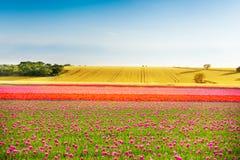 Campos coloridos hermosos del tulipán durante día soleado Fotos de archivo
