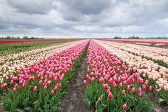 Campos coloridos holandeses del tulipán Imagen de archivo