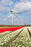 Campos coloridos holandeses del tulipán con las turbinas de viento Fotos de archivo libres de regalías
