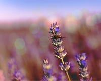 Campos com fileiras da alfazema Bokeh Close-up fotografia de stock