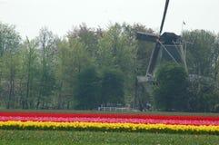 Campos com tulipas e o moinho de vento em Keukenhof, Holanda Fotografia de Stock
