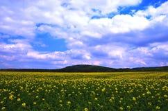 Campos com violação de semente oleaginosa de florescência imagens de stock