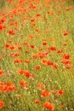 Campos completamente de papoilas vermelhas de florescência imagens de stock