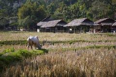 Campos con las vacas Fotografía de archivo libre de regalías