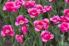 Campos con los tulipanes rosados Foto de archivo