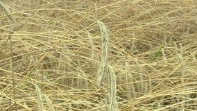 Campos con oído y la clase del oro del cereale del secale del centeno el bio, crecidos extensivamente como grano, Hana Landscape  almacen de metraje de vídeo