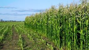 Campos cosechados y verdes del maíz por el camino debajo del cielo azul almacen de video