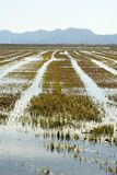 Campos crescentes do arroz em Spain. Reflexão da água Fotografia de Stock Royalty Free