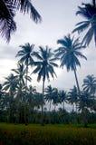 Campos da árvore do arroz e de coco foto de stock