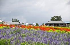 Campos da alfazema Imagens de Stock