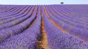 Campos da alfazema Imagem de Stock