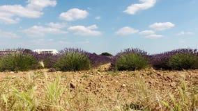Campos da alfazema de França video estoque