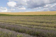 Campos da alfazema de Hitchin Foto de Stock Royalty Free