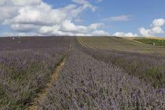 Campos da alfazema de Hitchin Fotografia de Stock