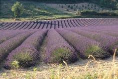 Campos da alfazema de Provence Imagem de Stock Royalty Free