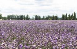 Campos da alfazema de Xinjiang, China Imagem de Stock Royalty Free