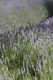Campos da alfazema em France imagens de stock royalty free