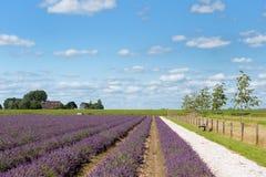 Campos da alfazema em Holland imagem de stock